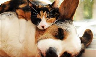 Hilárias Fotos de Gatos Dormindo Sobre Cães!