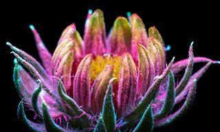 Luzes emitidas pelas plantas em imagens extraordinárias