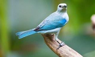 Os Lindos Pássaros da Costa Rica