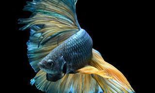 Lindas Imagens do Peixe-lutador-siamês