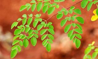 Conheça a Moringa, a Erva Que é Uma Grande Promessa na Cura do Câncer!