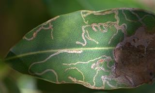 4 Dicas Para Exterminar Larvas Minadoras