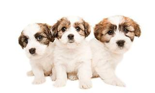 Diferentes Cãezinhos com 6 Semanas de Vida