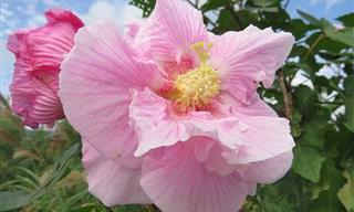 A colorida e variada beleza dos Hibiscos
