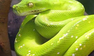 20 Cobras Muito Perigosas, Mas Bonitas
