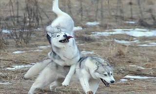 Os Melhores Momentos dos Husky Siberianos