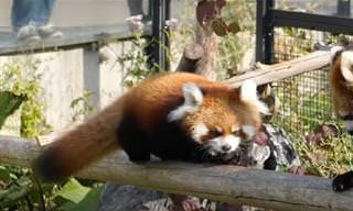 Veja Marumi, o panda vermelho, crescer e ficar lindão!