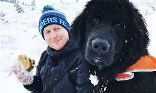 Cães Terra Nova São Gigantes, Mas Também Amorosos