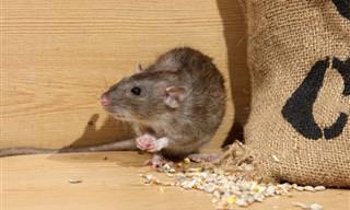Sinais de Infestação de Ratos