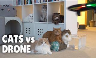 Gatos vs. drones, uma divertida caçada