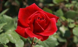 18 Tipos de rosas para ornamentar seu jardim