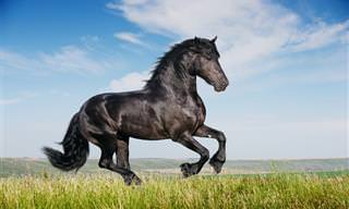 Os equinos têm a sua beleza, conheça os cavalos Frísios!