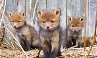 Admire a população selvagem da Finlândia