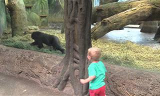 Gorila e garoto: Você não viu algo mais fofo que esse vídeo!