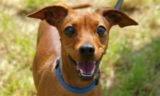 Piada Hilária: Como fazer um cachorro falar!
