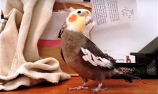 Dê muitas risadas com esses passarinhos cantores!