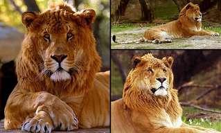 Conheça Estes Grandes Gatos Híbridos
