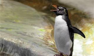 Hilário: Um Homem Chega em Casa Com um Pinguim!