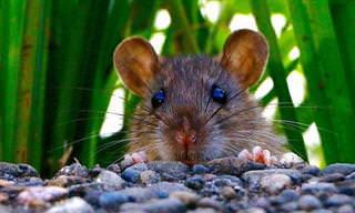 Elimine os Ratos de Casa Usando Essas 3 Soluções Com Hortelã!