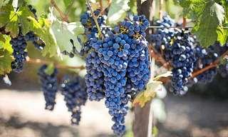Descubra Os Incríveis Benefícios da Uva!