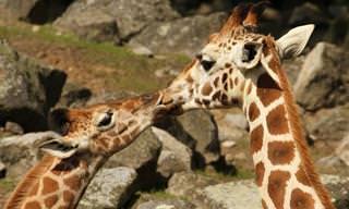 Quem Não Gosta de Um Beijinho Carinhoso?
