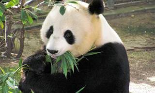 Esses pandas fofos vão te emocionar e te fazer rir!